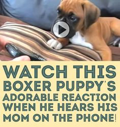 Watch this Boxer puppy's adorable reaction when he hears his mom on the phone!