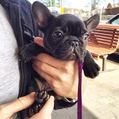 Hi, I'm Juno, the French Bulldog Puppy, my mummy & daddy call me June-bug, they think Im the beez kneez.