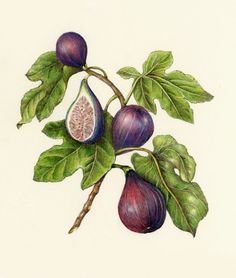 If I ever change my mind and got a tattoo, it would probably be a botanical fig illustration.