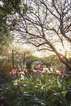 Crinum x powellii and Crinum moorei under an almond tree in the Englishman's Garden.