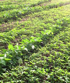 When it comes to cover crops for gardens, the list of benefits is extensive. Choosing the best cover crop to accomplish the job in your climate is crucial.