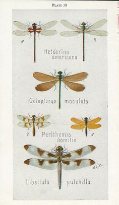 Vintage Book Plate - Dragonflies / Vintage Illustration / Perithemis Domitia / Insects