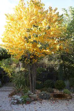 Höstens katsura är gul och luktar kakbak