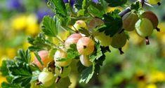 Pflegeleichte Strauchbeeren sollten in keinem Garten fehlen. Die süßsauren Früchte laden zum Naschen ein und meist bleibt genug für die Vorratshaltung übrig.