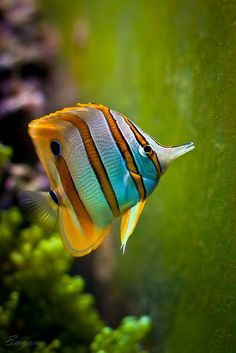 Butterflyfish on green by Emyan