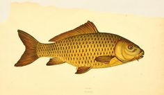 Carp! From A History of the Fishes of the British Islands, 1862-65. Courtesy of the BHL.