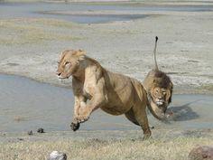 #culturetrav galloping towards the weekend!!! #serengeti #mahlatinimoment