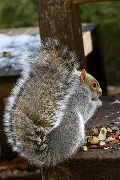 ** Squirrel with a big fat tail Reptiles, Mammals, Squirrel Tail, Cute Squirrel, Squirrels, Animals And Pets, Baby Animals, Cute Animals, Wild Animals