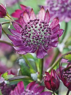 Astrantia major 'Midnight Owl' - Astrantias have been cultivated in Britain since the 16th century and have numerous common names, such as melancholy gentleman, Hattie's pincushion and the more well known masterwort.