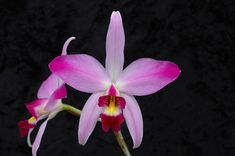 The Laelia - I have this one and it's in bloom now...