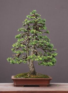 A spruce by Walter Pall....till i steal it... mwahaha