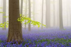 Descubre Este Sorprendente Bosque Místico En Bélgica Alfombrado Con Flores de Campanilla   Sentirte Saludable