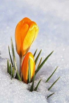 Yellow tulips in snow