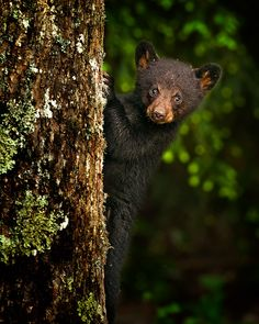 BLACK BEAR CUB - 1st Place Open Fauna 2011 National Center For Nature Photography Annual Photo Contest. (Against 556 total entries)  Published Sylvania Advantage Newspaper, Mid-Nov 2011 Issue