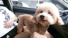 Baobei  toy poodle   Pawshake Singapore