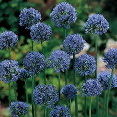 Blue Drumstick Allium, Allium: Jung Seed Company Green Flowers, Colorful Flowers, Spring Perennials, Dutch Gardens, Autumn Lights, Dried Flower Arrangements, Blue Garden, Fall Plants, Allium