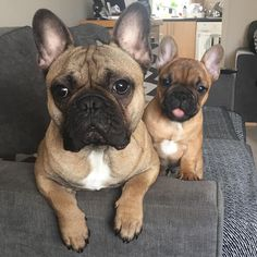 "Eric & Ralph, French Bulldogs on Instagram: ""Tongues out  #tongueouttuesday #tonguesouttuesday #dog #dogsofinstagram #frenchie #frenchies #frenchbulldog #frenchbulldogs #frenchiesofinstagram #bulldogs #petsofinstagram #fawnfrenchie #fawn #redfawnfrenchie #redfawn #puppy #puppies"""