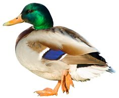 Duck PNG Picture