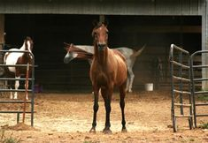 Navigating Barriers: Can Horses Watch and Learn?
