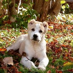 Central Asian Ovtcharka #puppy | Среднеазиатская овчарка/Шпицы/Питомник/Щенки | VK Baby Puppies, Cute Puppies, Cute Dogs, Animals And Pets, Baby Animals, Cute Animals, Alabai Dog, Fauna, Working Dogs