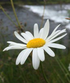 Daisy by Kaia Huus - Photo 128449569 - Daisy, Plants, Daisies, Flora, Plant, Planting, Bellis Perennis