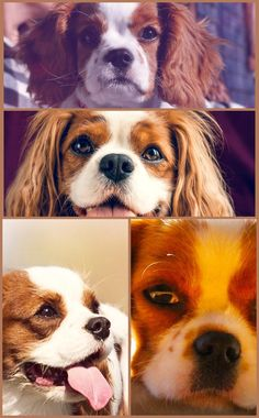If you've dreamed of owning a Cavalier King Charles Spaniel, currently's the time to take the plunge– this is among the most preferred canines on the planet, and the breed has a relatively brief lifespan. Getting a Cavalier will certainly be a choice that you'll always remember, as well as it's very easy to see why– these are charming little pet dogs who are caring, intelligent, and kind. Got A New Dog And Require Some Tips? Read This! Looking after dogs is a