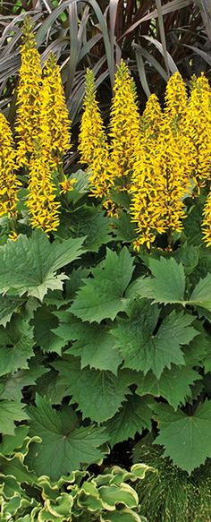 Bottle Rocket Ligularia has fuzzy spikes that will gladly brighten up the shady side of the house, and the foliage is a bit too tough to chew, so the deer move on to another selection.