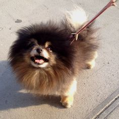 Pebbles the poofy Pomeranian. #iloveanimals