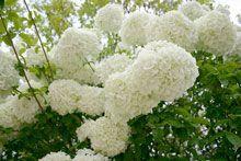 fast growing florida shrubs - Google Search