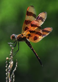 Halloween Pennant Dragonfly (Celithemis eponina) - native to eastern North America, including Ontario in Canada and the United States as far west as Colorado. Dragonfly Images, Dragonfly Insect, Beautiful Bugs, Beautiful Dragon, Insect Orders, Gossamer Wings, Insect Photography, World Birds, Coloured Girls