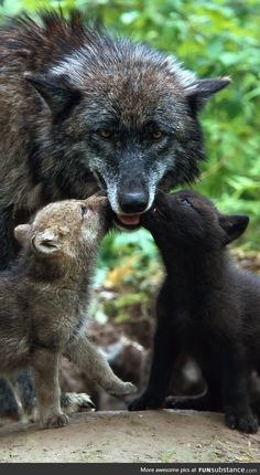 """Did you know that wolf dads are very caring and attentive dads who are very protective of their pups. They are also monogamous and very loyal to their she-wolf whom they mate with for life. Happy Father's Day from """"The Wolf"""" **Spirit Wolf Animals And Pets, Baby Animals, Cute Animals, Funny Animals, Wolf Spirit, Spirit Animal, Wolf Pictures, Animal Pictures, Beautiful Creatures"""