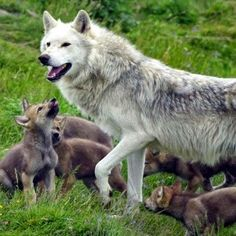 White Wolf : 30 Pictures That Will Make You Fall In Love With Wolves