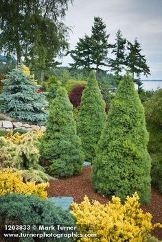 1203833 Dwarf Alberta Spruces [Picea glauca 'Conica']. Jim Swift, Bellingham, WA. © Mark Turner