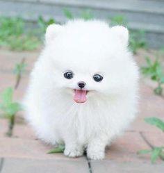 White pomeranian puppy x ⭐ MY BLOG: www.ditatime.weebly.com  ⭐ FB: www.facebook.com/DitaTime