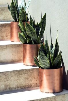 Sansevieria also called snake Plant & Mother-In Law's Tongue in copper pots. I love these plants! I would love to find the rosette ones, but so far haven't .