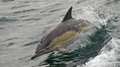 A short-beaked common dolphin (Delphinus delphis) breaching alongside the ship in Loch Torridon, west Rossshire, Scotland.
