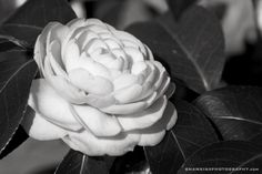 the white camelia that inspired Coco Chanel