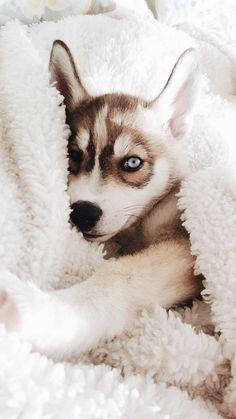 Wonderful All About The Siberian Husky Ideas. Prodigious All About The Siberian Husky Ideas. Cute Husky Puppies, My Husky, Siberian Husky Puppies, Husky Puppy, Siberian Huskies, Huskies Puppies, Baby Huskies, Husky Eyes, Cockapoo Puppies