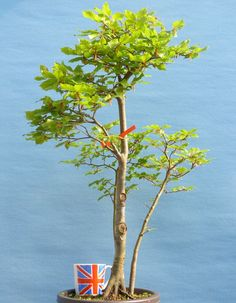 English Beech Bonsai Tree - Native Bonsai