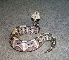 "Gabgoon Viper. Pretty snake with 2.5"" fangs and gross venom. Don't get too close."
