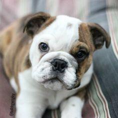 puppy love! english bulldog puppy #baby #puppy #englishbulldogpuppy #englishbulldog #wrigleythebulldog