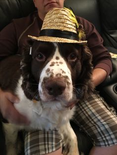 55 Best English Springer Spaniels images in 2018 | English