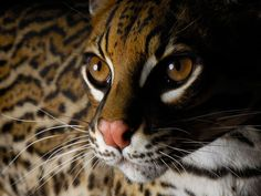 Our handsome ocelot, Diego. Photo appeared in National Geographic in 2009. #wildlife #photography