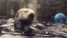 """""""I was invited to go to the Vancouver Aquarium by the Telus Otter to do a short film of it. This is what I came up with..."""" -from Darren Sutherland"""