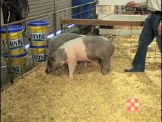 Evaluating Show Pigs Video from Purina. Easy addition to your ag class. Livestock Judging, Showing Livestock, Pig Showing, Pig Pen, Animal Agriculture, Pig Farming, Animal Science, Animal Nutrition, Ranch Life