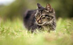 Descargar fondos de pantalla Gato, hierba verde, mascotas, gatos