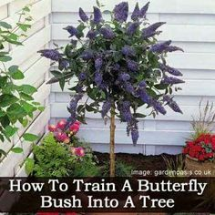Great way to create vertical interest with a fantastic fragrant and colorful shrub that attracts butterflies and hummingbirds. #gardenchat #gardening