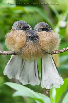 ~~Threes a crowd | Faintail Chicks, a New Zealand native bird | by omakiwi~~