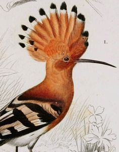 Hoopoe (detail) (via v. 1 1849 - Atlas (Zoologie - Humaines, ПРОЙТИ ПО ССЫЛКЕ Mammiferes & Oiseaux) - Dictionnaire universel d'histoire naturelle : - Biodiversity Heritage Library) Beautiful Birds, Animals Beautiful, Zoo Art, Vintage Bird Illustration, Pottery Animals, Ancient Egyptian Art, Vintage Artwork, Bird Drawings, Weird Pictures