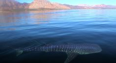 Golden Mountain provides the background as a whale shark cruises in the waters of Baja California